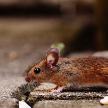 Mice In Property – Who Is Responsible – Landlord Or Tenant?